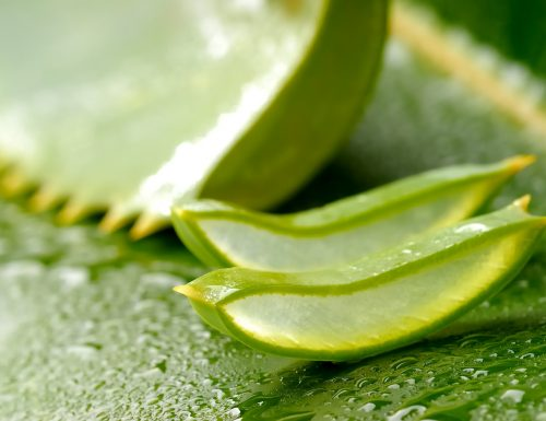 Aloe Arborescens: alcuni dei tanti motivi per utilizzarla