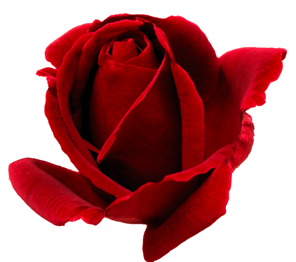 red_rosa_png__by_ilenush-d57ams9