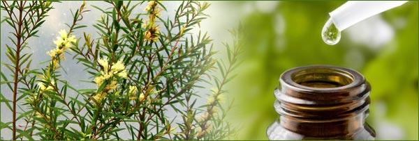 Tea Tree Oil: rimedio naturale, proprietà e impiego